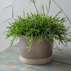 Milton Pot, Large